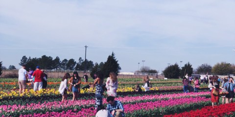 Tulip Fields with Mom