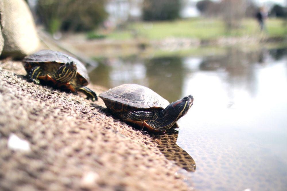 animals-lake-turtles-7391.jpg