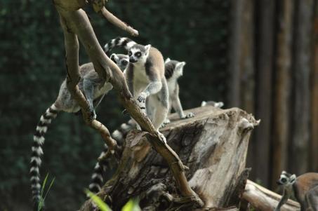 Lemuri catta_albero.jpg