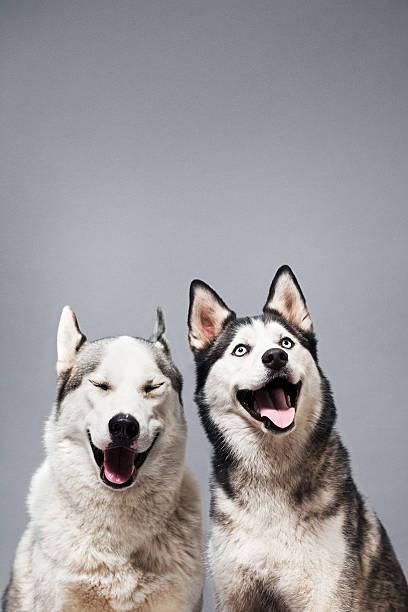 Studio portrait of two huskies smiling