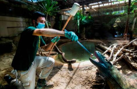 Italian zoo caretaker Daniele, wearing a face mask, feeds a varan lizard on April 23, 2020 at the Rome zoo (Bioparco di Roma) during the country's lockdown aimed at curbing the spread of the COVID-19 infection, caused by the novel coronavirus. (Photo by Tiziana FABI / AFP) (Photo by TIZIANA FABI/AFP via Getty Images)