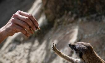 Italian zoo caretaker Daniele feeds a suricate with worms on April 23, 2020 at the Rome zoo (Bioparco di Roma) during the country's lockdown aimed at curbing the spread of the COVID-19 infection, caused by the novel coronavirus. (Photo by Tiziana FABI / AFP) (Photo by TIZIANA FABI/AFP via Getty Images)