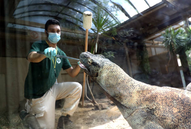 ROME, ITALY - APRIL 23: A trainer wearing face mask is feeding a Komodo dragon at Bioparco on April 23, 2020 in Rome, Italy. Bioparco in Rome could be reopening on May 4th: Italy will remain on lockdown until that day to stem the transmission of the Coronavirus (Covid-19), but some industries are being allowed to reopen. (Photo by Elisabetta A. Villa/Getty Images)