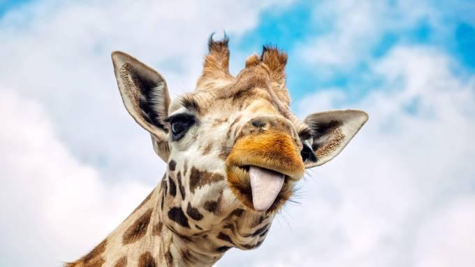 170403-jones-pregnant-giraffe-tease_alsbhr