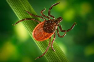 Tick on a blade of grass. Credit: National Parks Service.