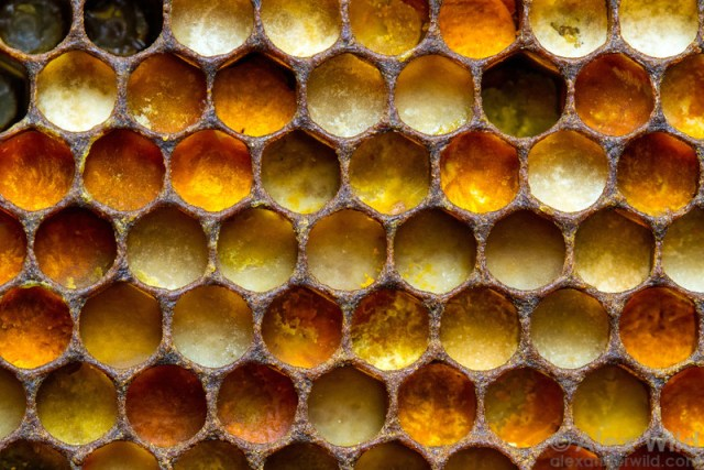 No word on the birds, but bees love to celebrate Tessellation Day. Image copyright Alex Wild. Used with permission.