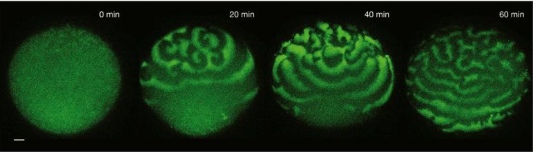 oocyte evolution