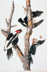 Ivory-billed Woodpecker by J.J. Audubon. From Birds of North America Online.