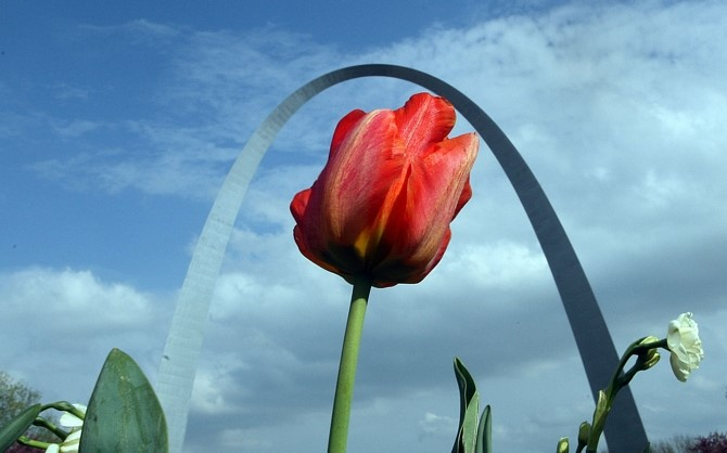 A red tulip blooms under the St. Louis Arch under blue skies
