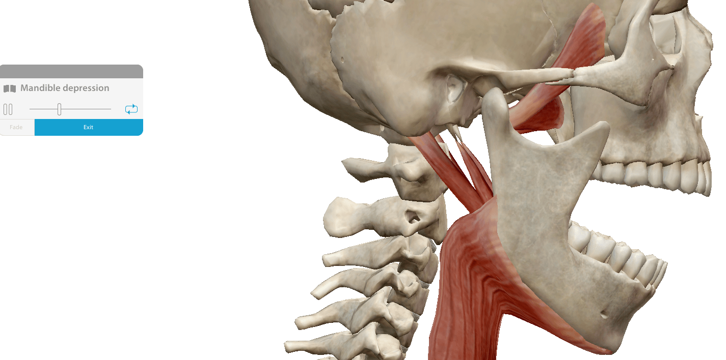A screenshot of the Visual Body database showing a mandible movement