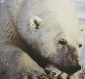 Waldner Polar Bear