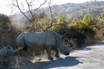 Rhino at Pilansberg National Park