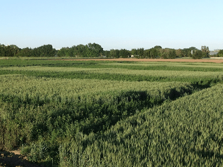 In Davis, strips of alfalfa and wheat-sudangrass rotations were established to compare the effects on a wheat crop planted after both systems. Yields of wheat at different N rates were then compared.