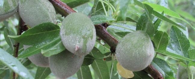almond fruit growing on tree