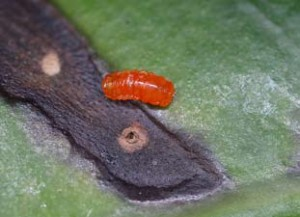 Horidiplosis ficifolii: an ornamental fig pest
