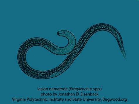 Pratylenchus spp.