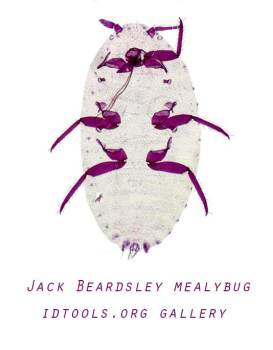 jackbeardsleymealybug-idtools-gallery
