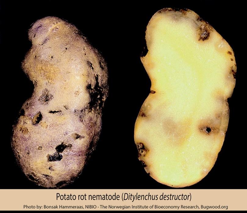 potato rot nematode