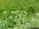 ragweed parthenium | Parthenium hysterophorus L. | Photographer: Charles T. Bryson