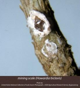 5119004-mining-scale(Howardia-biclavis)
