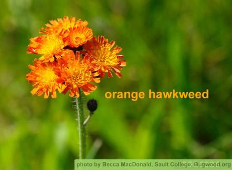 Orange Hawkweed, photo by Becca MacDonald, Sault College, bugwood.org