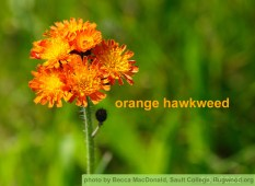 Orange Hawkweed, photo by Becca MacDonald, Sault College, bugwood.org