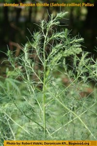 Slender Russian Thistle plant