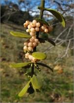 Figure 2: Phoradendron serotinum ©2011 Jorg & Mimi Fleige