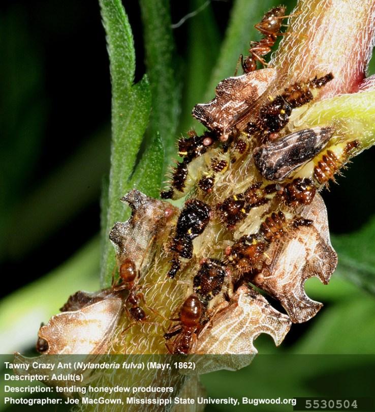 tawny crazy ant (Nylanderia fulva) (Mayr, 1862), photo by Joe MacGown, Mississippi State University, Bugwood.org