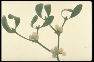 European Mistletoe | Viscum album L