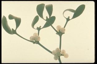 Pink Hibiscus Mealybug Maconellicoccus Hirsutus Green Pest