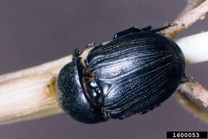 Sugarcane Beetle example