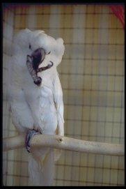 umbrella cockatoo (Cacatua alba)