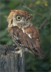 screech owl --red phase (Otus asio)