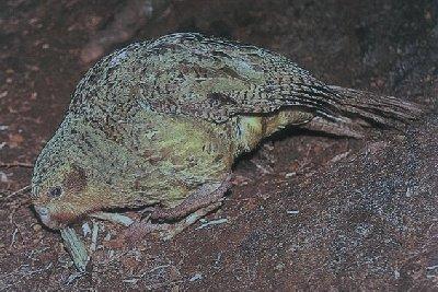 kakapo (Stringops habroptilus)