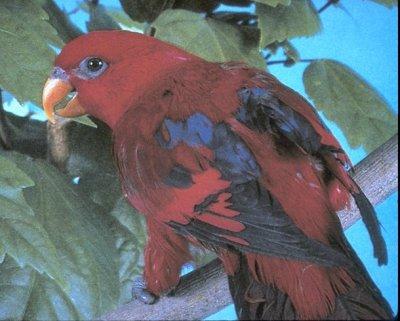 red lory (Eos bornea)