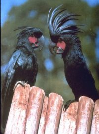 palm cockatoo (Probosiger aterrimus)
