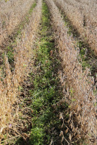 By October, the vetch interseeded between the soybean rows has established well.