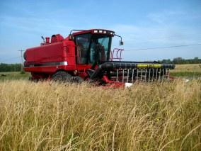 Harvesting Kernza