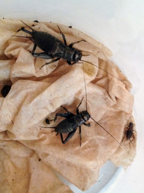 Crickets were captured from neighboring fields for the feeding trials.