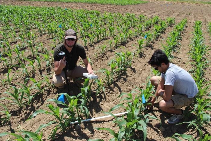 Summer Research Assistants Jake and Douglas measure light transmission through the corn crop at the start of the season.