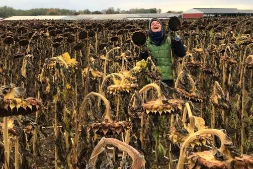 sunflowers harvest time