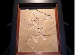 Was also fortunate enough to see the Berlin specimen of Archaeopteryx lithographica, one of the earliest birds