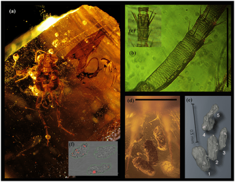 Cockroach entombed within amber, and five preserved coprolites. Scales 0,5 mm