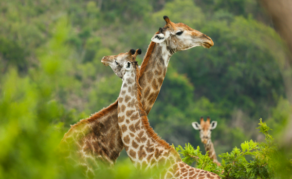 Two giraffes, one resting neck on the other's.