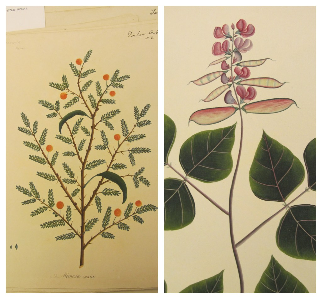 Two drawings of plants, one with thorns, spiky leaves, and orange fruit; and another with spade-shaped leaves, pink flowers, and flat seed pods.