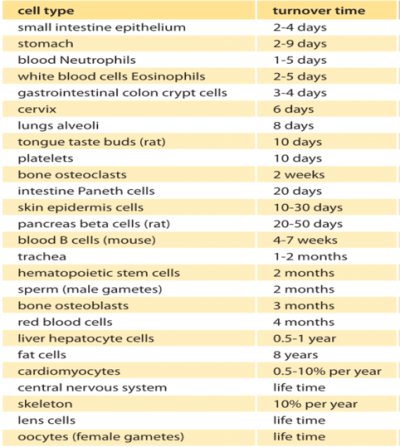 Cell renewal rates in different tissues of the human body (bionumbers.org, 2017)