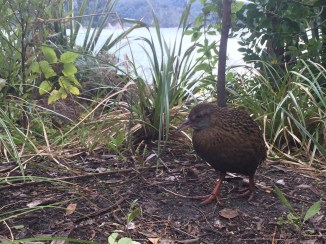 A Weka, one of New Zealand's famous flightless birds