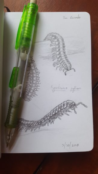 These are a few sketches of the python millipedes (Nyssodesmus python) that like to creep around in the wet mountainous areas of Costa Rica.