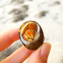 This hermit crab has nearly outgrown his shell, but he still expertly folded himself away when he disliked my attention.